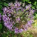 Allium giganteum, Giant Onion. Flowers setting seed. Chapeltoun, North Ayrshire.jpg