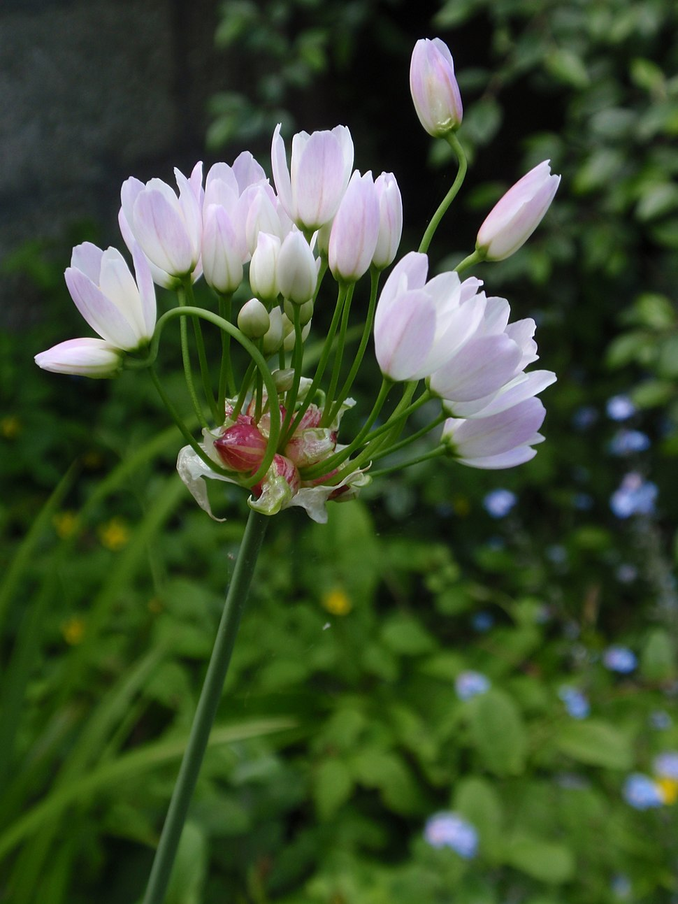 Allium roseum2