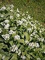 Allium ursinum RHu 01.JPG