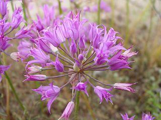 <i>Allium acuminatum</i> species of plant