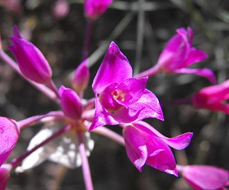 Allium peninsulare - Allium peninsulare