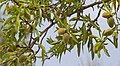 Almendras (Prunus dulcis), Huérmeda, España 2012-05-19, DD 01.JPG