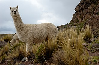 Vicugna - A pair of alpacas near an Inca burial site in Peru
