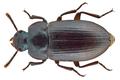 Alphitobius laevigatus (Fabricius, 1781) (11419955376).png