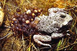 mâle, avec ses œufs, dans le Pas-de-Calais