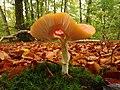 Amanita muscaria (15) (49147710566).jpg