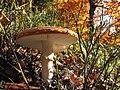 Amanita muscaria - Muchomor czerwony - Fly amanita (35146592994).jpg