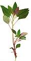 Amaranthus fiolage.jpg