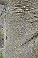 American Beech Fagus grandifolia Bark Vertical.JPG