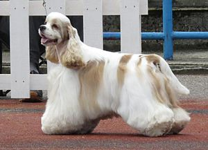 American Cocker Spaniel - An American Cocker Spaniel with its coat trimmed for show presentation.