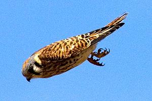 300px American Kestrel on the hunt Little Hawk Returns