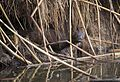 American Mink at Cokeville Meadows NWR (20820474214).jpg
