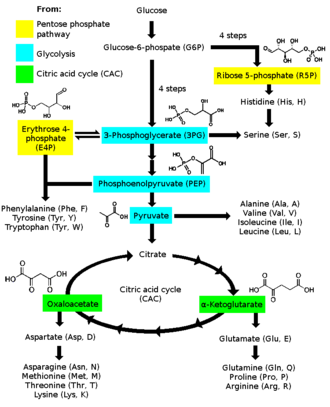Amino acid synthesis - Image: Amino acid biosynthesis overview