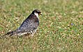Amur falcon female 2.jpg