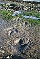 An Corran dinosaur tracks.jpg