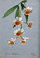 An orchid (Dendrobium thyrsiflorum); flowering stem. Waterco Wellcome V0043290.jpg