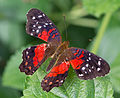 Anartia amathea 02 2014.jpg