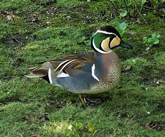 Baikal teal - A male at the Cologne Zoo, Germany