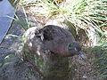 Anas nesiotis in Otorohanga Kiwi House.jpg