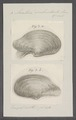 Anatina subrostrata - - Print - Iconographia Zoologica - Special Collections University of Amsterdam - UBAINV0274 079 10 0003.tif