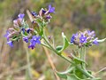Anchusa officinalis (3703460079).jpg