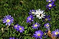 Anemone blanda in the Kensington Gardens, London spring 2013 (1).JPG
