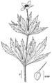Anemone canadensis NRCS-3.png