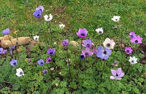 Anemone coronoria - 2.jpg
