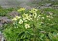 Anemone narcissiflora f. viridis 02.jpg