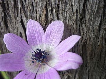 Anemone pavonina image.JPG