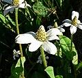 Anemopsis californica 4.jpg