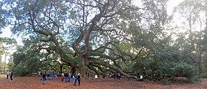 Angel Oak - The Angel Oak is a popular attraction near Charleston, South Carolina (November 2017)