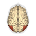 Angular gyrus - superior view.png