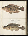 Animal drawings collected by Felix Platter, p1 - (66).jpg