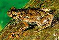 Anodonthyla pollicaris01.jpg