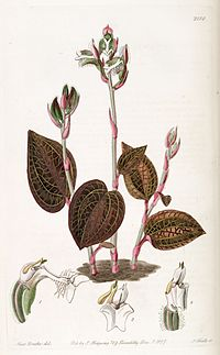 Typart A. setaceus