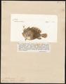 Antennarius histrio - 1700-1880 - Print - Iconographia Zoologica - Special Collections University of Amsterdam - UBA01 IZ13600221.tif