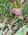 Anthyllis montana in Lozere (2).jpg