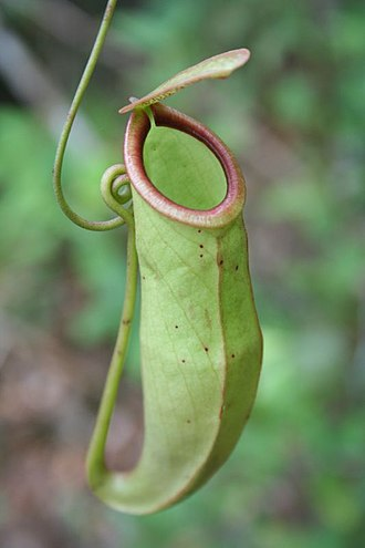 Nepenthes mirabilis - An upper pitcher of Nepenthes mirabilis
