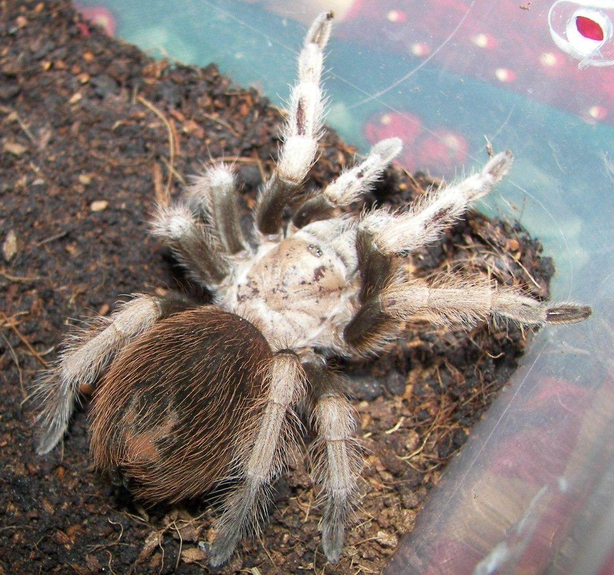 Aphonopelma chalcodes - Wikipedia, la enciclopedia libre