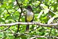 Apical Flycatcher (Myiarchus apicalis) (8079764502).jpg