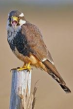 Aplomado Falcon portrait.jpg