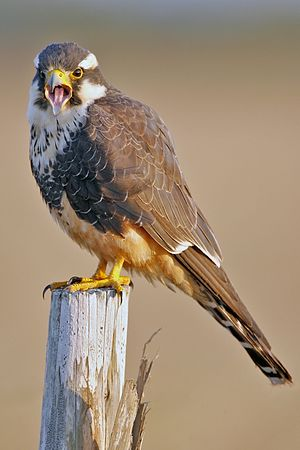 Aplomado falcon - Image: Aplomado Falcon portrait