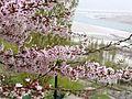 Apricot Blossom 2.jpg