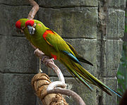 A green parrot with a red forehead and shoulders, blue-tipped wings, and white eye-spots