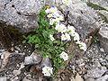 Arabis alpina a5.jpg