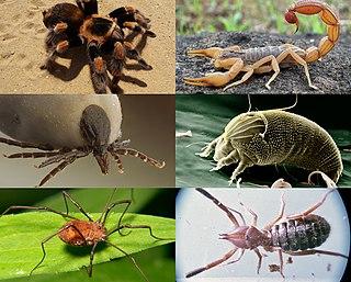 Arachnid Class of arthropods