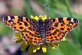 Orange Black Butterfly bgiu.jpg