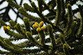 Araucaria araucana (8728332060).jpg