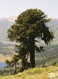 Anexorboles nativos de Chile  Wikipedia la enciclopedia libre